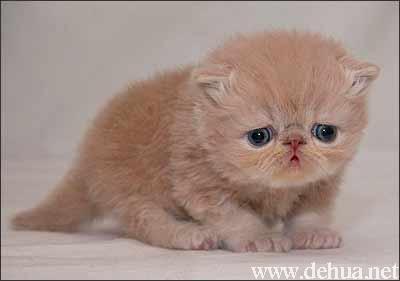 可爱小奶猫——真实版加菲猫