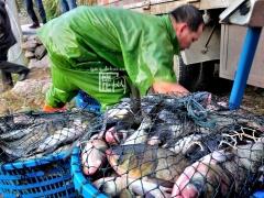 鱼贩、餐馆等客商现场直接收购