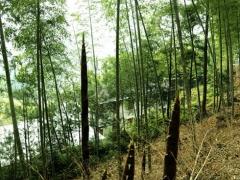 这是春笋,每年三四五月份可以采挖。春笋有根,可以变成大竹子,所以,挖笋像间苗一样,挖哪根不挖哪根要有利竹子的生长。春笋不可以到别人的竹园去挖。