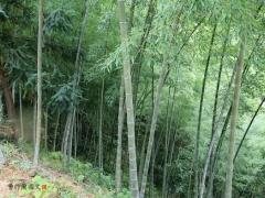 眼下正是挖冬笋的好时节。不是所有竹子下面都有冬笋。要寻找竹叶茂盛、叶子油绿有光泽的。如果地面有一点微微的隆起,大约有冬笋。