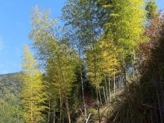冬笋也分大小年,去年笋多的地方,今年就会少。