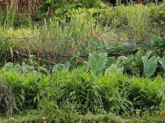 再说芋头饭。大叶子的是正在生长的芋头。广西有荔浦芋头比较有名,德化有槟榔芋,品质也很好。这里家家户户都种槟榔芋。