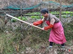 这个婆婆正在挖芋头。进入冬季,芋头叶子已经枯萎了。
