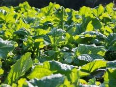 芥菜是一片一片削下来吃的,根可以长期在土里生长。
