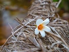"""游客们首先观看了精彩纷呈的文艺节目汇演,接着徒步到梨园。在徐徐的春风中,置身于梨园中,淡淡的花香扑鼻而来,让游客真切体会到古人""""驿路梨花处处开""""的豪情。"""