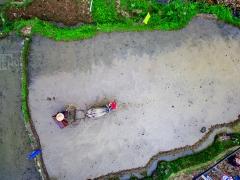 耕牛在户主的牵引下点红戴花,享用竹筒灌鸡蛋和糍粑包艾草,并在村民和仪仗队伍的簇拥下,从玉林堂经梯田古道到达许厝垅祖厝,接敬后再绕回玉林堂,最后下地开耕,展示独特的农耕技艺。