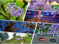 每年的4月和8月,浔北路那颗开着灿烂蓝紫色的花树都会引人驻足。