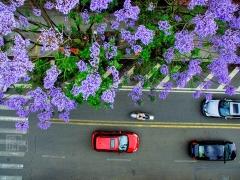 这些如星星般点缀街头的蓝紫色,格外显眼,就连掉落在地上的花瓣,也美得颇有意境。