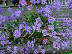 蓝花楹(拉丁学名:Jacaranda mimosifolia)是紫葳科蓝花楹属的植物。分布在阿根廷、玻利维亚、巴西以及中国的广西、海南、广东、云南、福建等地,已由人工引种栽培。树冠高大,高13 - 14米,最高可达20米。叶为二回羽状复叶,叶大,羽片在16对以上,每一羽片有小叶10 - 24对,羽状,着生紧密;颇为秀丽,小叶长约6毫米。圆锥花序,枝端着生或腋生;花钟形,长25 - 35厘米;淡紫色,花期春末夏初。果为蒴果,圆形稍扁,浅褐色,直径约5厘米。开花时叶落尽。此树别名,因其叶似蕨;又名蓝雾树,木材暗褐色。