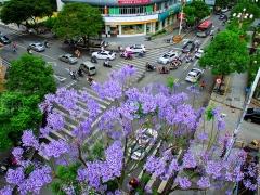 """蓝花楹花冠紫蓝色,开花时,串串紫蓝,花朵密集,呈唇状,长约5厘米,每年掉叶两次花开两次,把一年当做两年""""用""""。"""