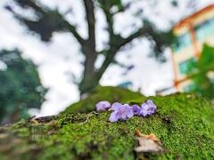 美丽的花朵从树上掉落,掉在长满青苔的树干上。