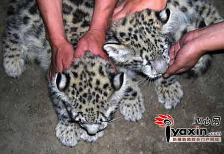 两只可爱的小雪豹