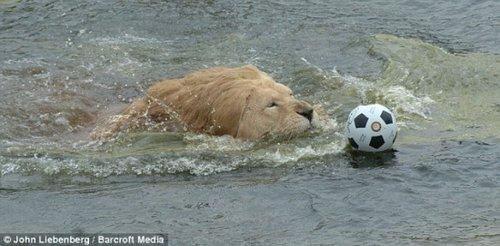 南非动物园雄狮痴迷足球对雌狮不感兴趣