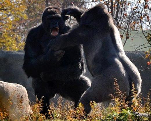 美国底特律动物园的一只年轻大猩猩为了争夺统治地位