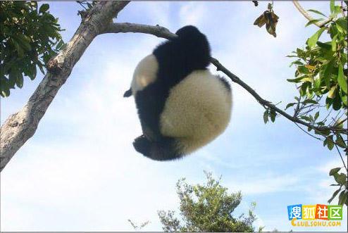 晒晒大熊猫销魂的背影