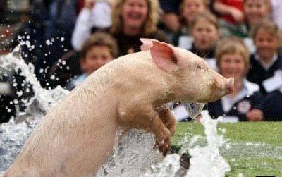 人和猪之间的各种比赛